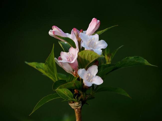 不一样的风景——白色锦带花