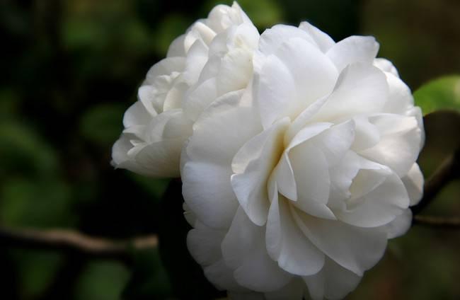 白色的茶梅
