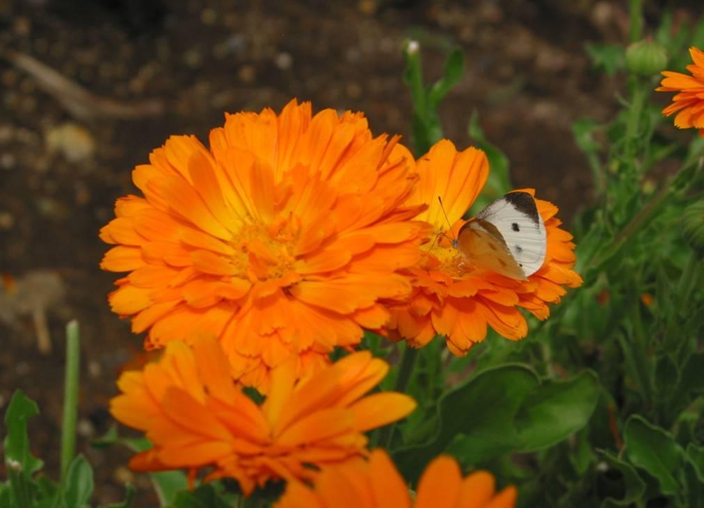 离别之花——金盏菊