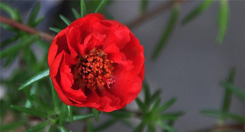 太阳之花 ——半枝莲