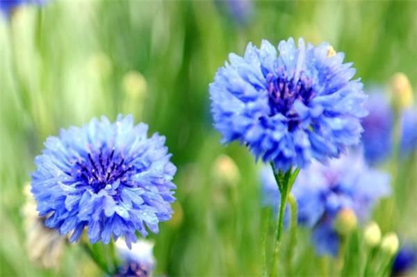蓝色矢车菊美图