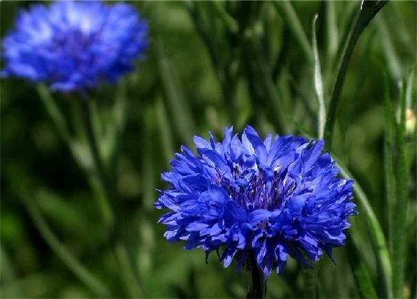 德国国花——蓝色矢车菊