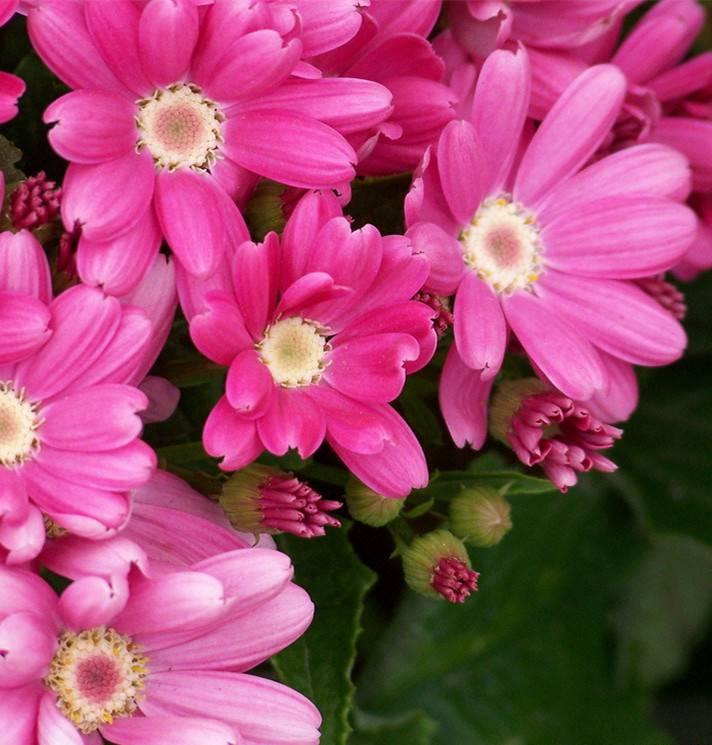 活泼的紫红瓜叶菊