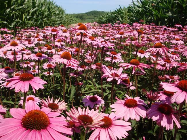 粉色松果菊