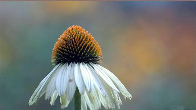 白花松果菊