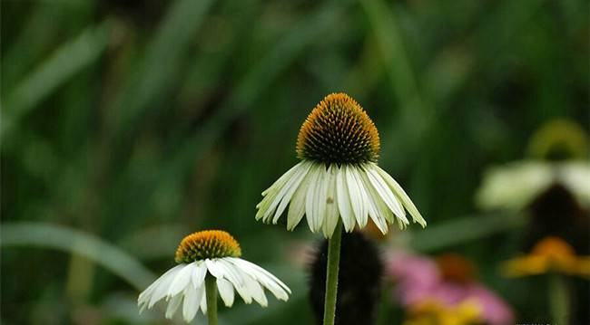 白花松果菊——白色天空