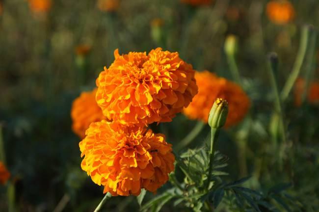 盛开的万寿菊