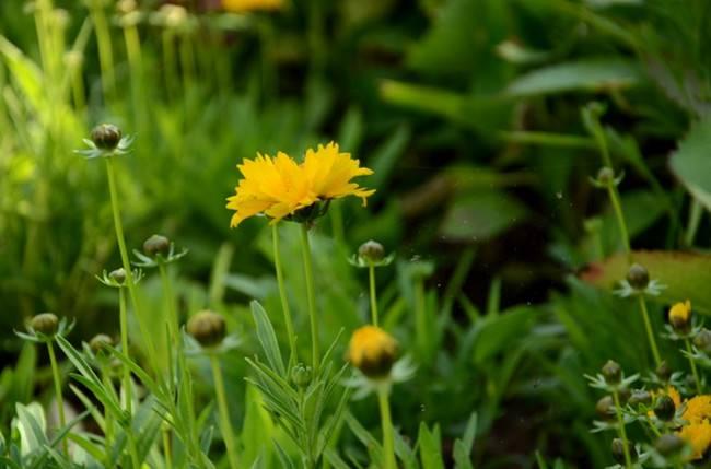 顽强的大花金鸡菊