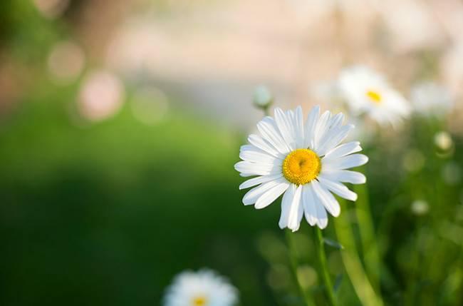 藏在心底的爱——雏菊