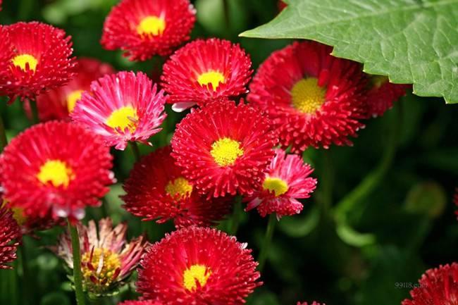 红色雏菊——是不是爱我