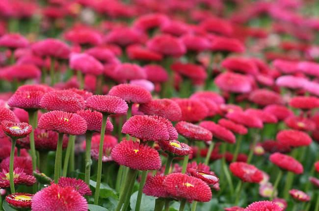 红色雏菊海