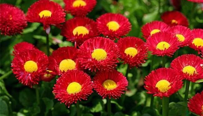 红色雏菊花