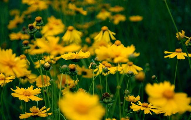 黄色雏菊花
