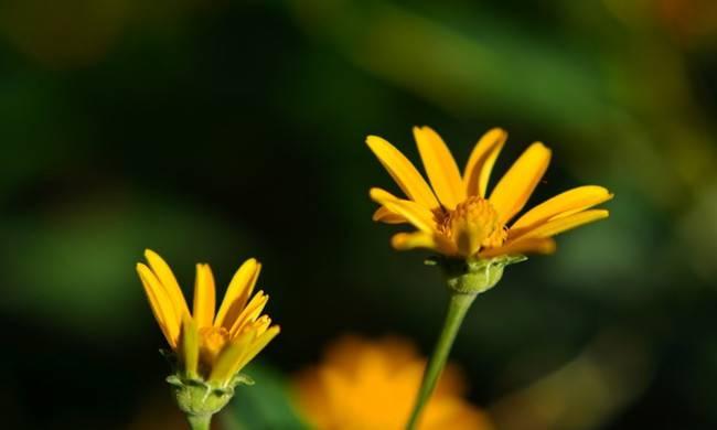 黄色的雏菊