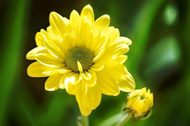 黄色雏菊——你给我的爱