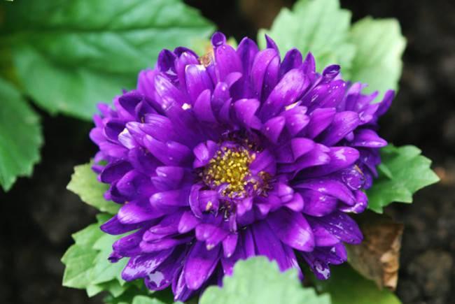 一年生紫菀——翠菊