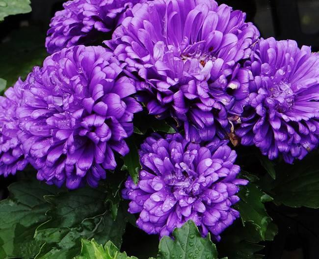一年生紫菀