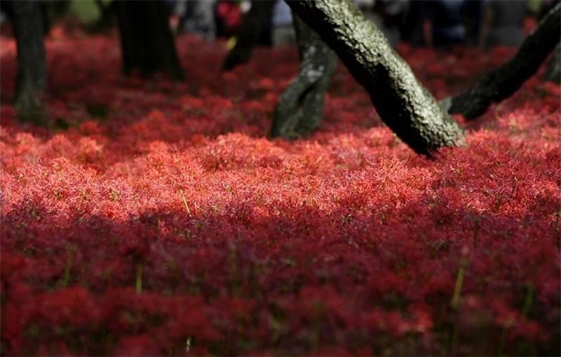 花与叶永难相见——彼岸花