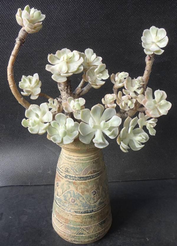 花团锦簇的白牡丹老桩