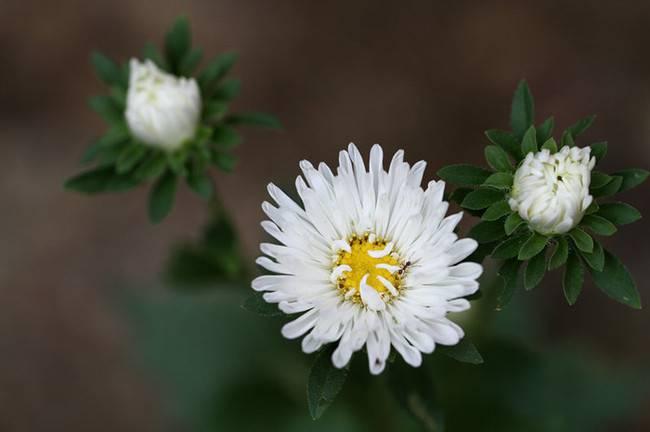 白色的翠菊