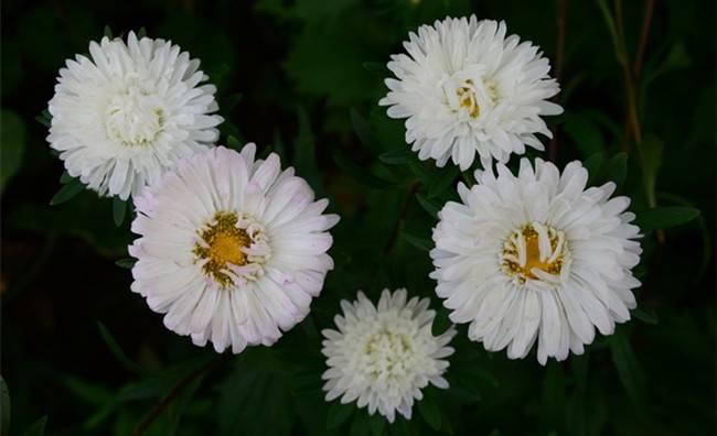 白翠菊,白色的菊花