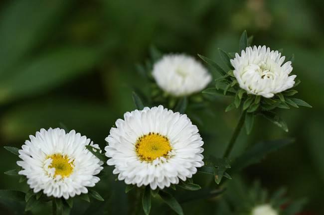 白色追想——白翠菊