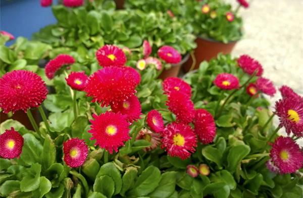一片红翠菊
