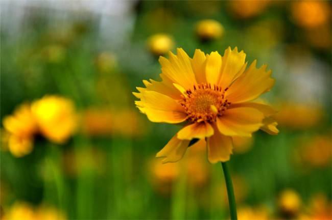 邂逅黄色波斯菊