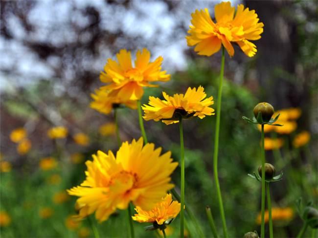 黄色波斯菊