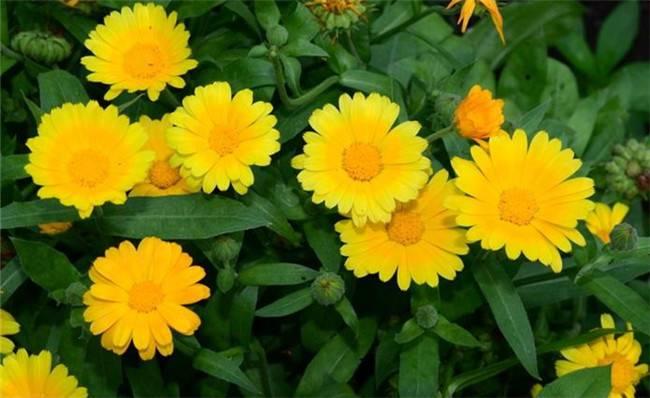 迷人的黄色波斯菊