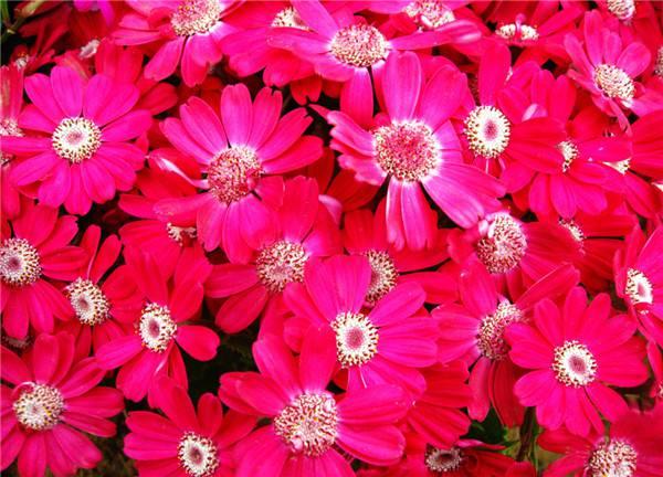 绯红矢车菊