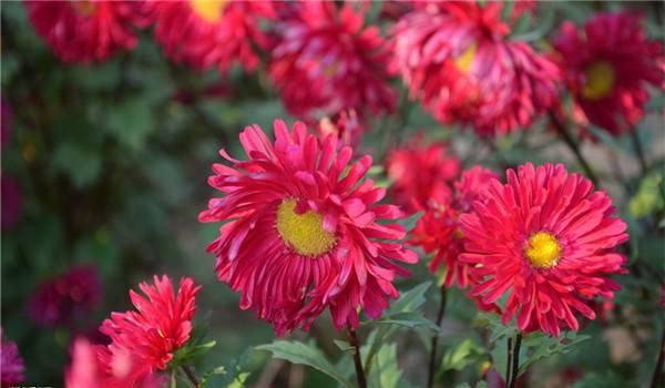 美丽的绯红矢车菊