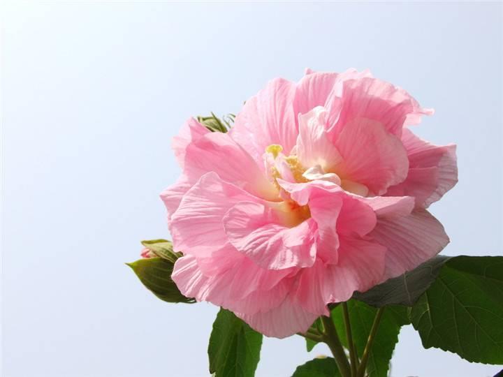 木末芙蓉花,山中发红萼