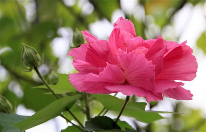 经霜愈盛的木芙蓉花