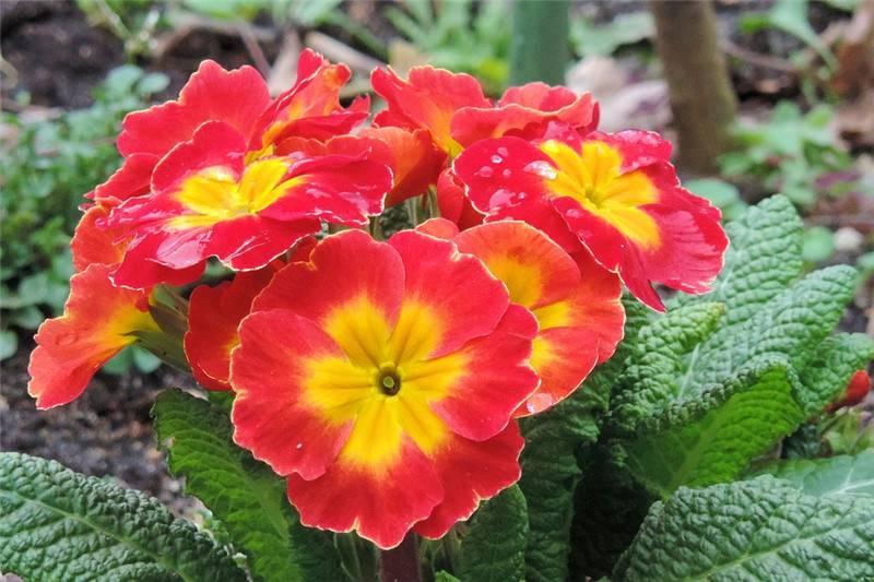 红色的报春花