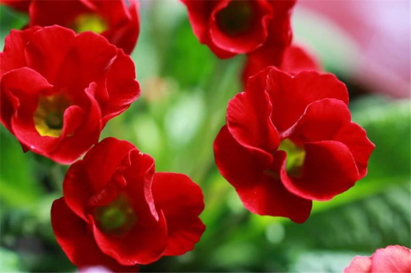 红色报春花