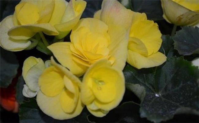嫩黄的四季海棠