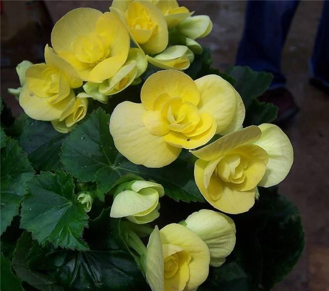 四季海棠,嫩黄嫩黄的