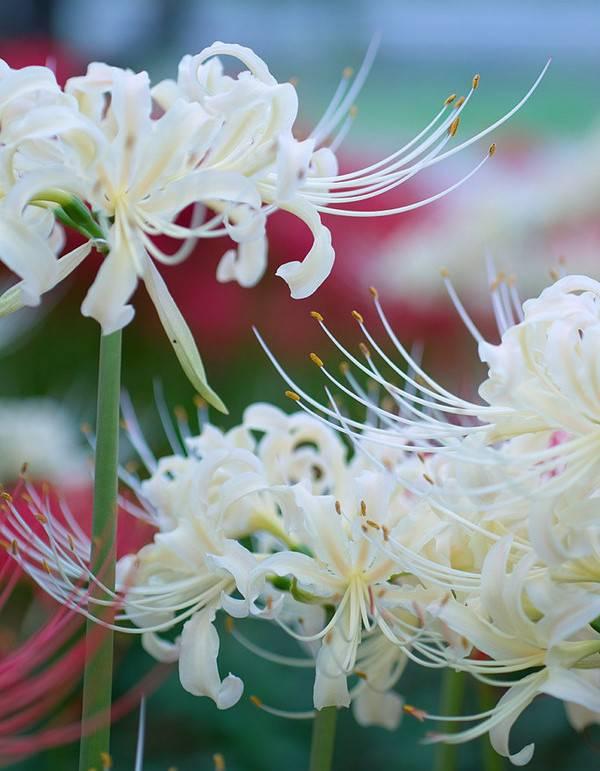 天堂之花——曼陀罗华
