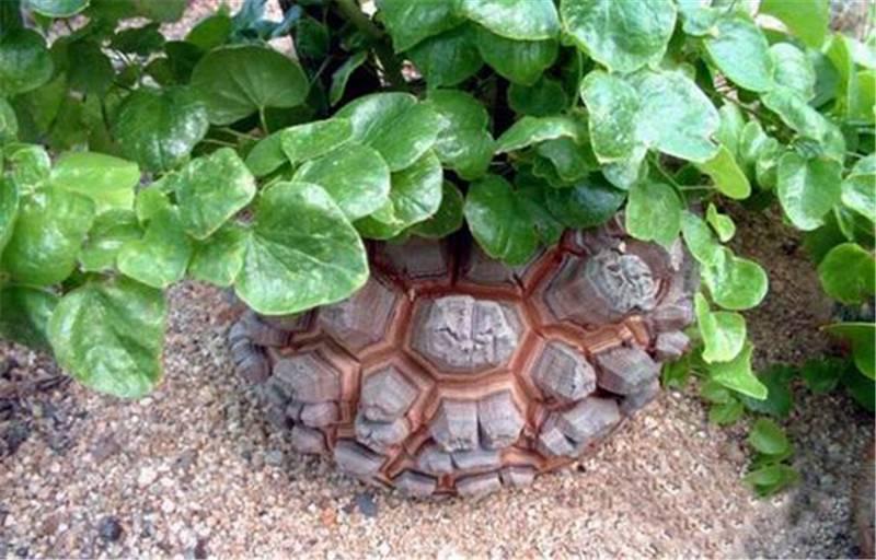 龟甲龙的独特魅力