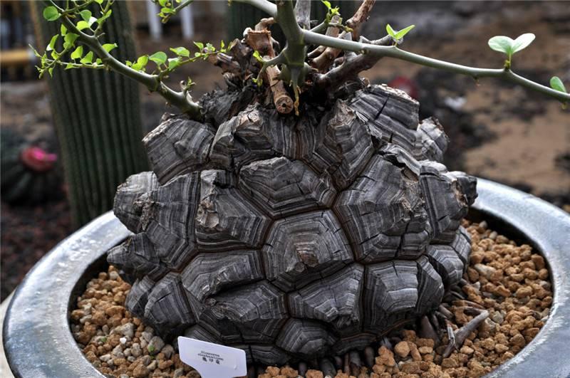 凶猛的龟甲龙