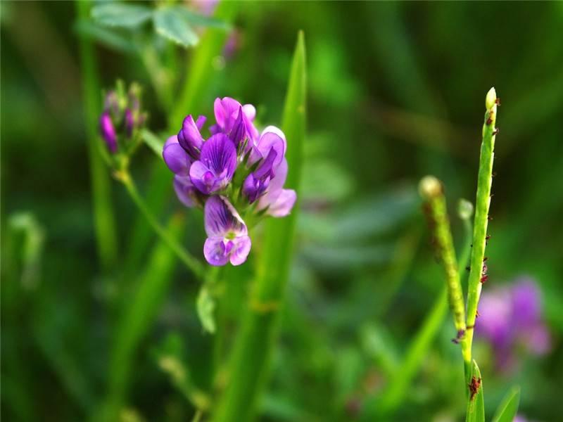 紫苜蓿美图