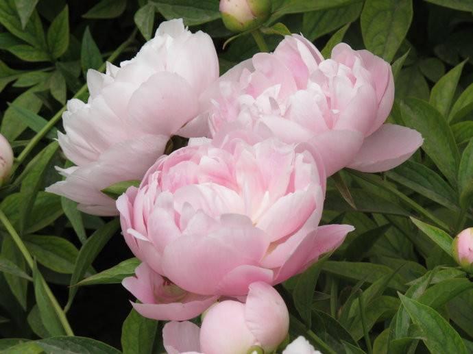 粉色芍药图片欣赏