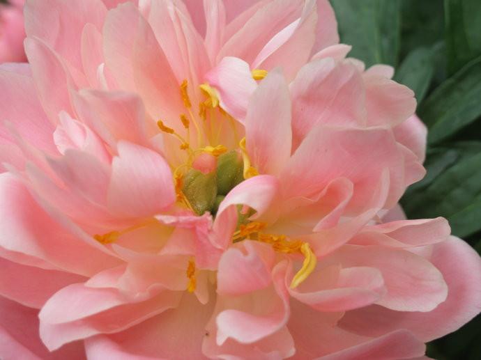 粉色芍药美图
