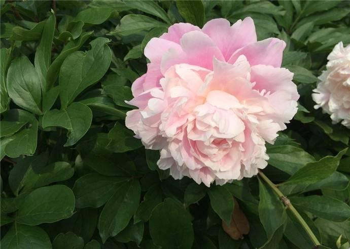 粉色芍药图片