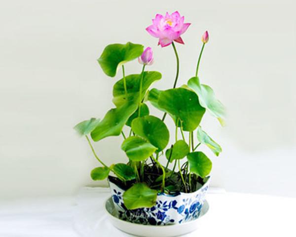 碗莲盆景的美图