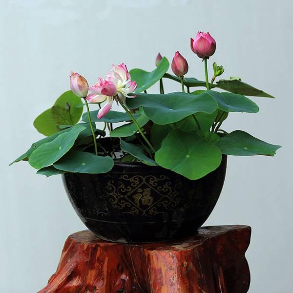 碗莲盆景图片