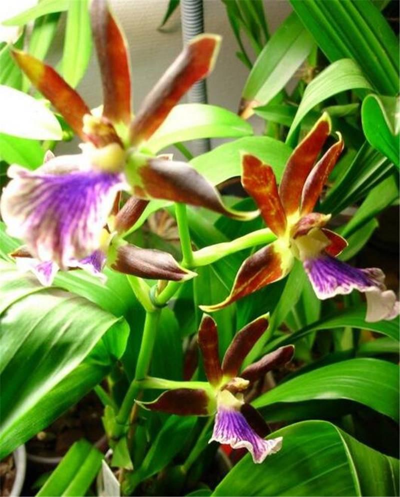 光彩照人紫香兰