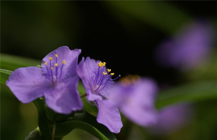 紫露草美图