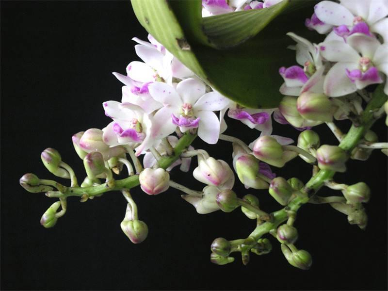 花开一半钻喙兰